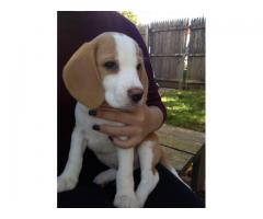 TOP QUALITY BEAGLE PUPPIES AVAILABLE FOR SALE IN DELHI@7042450221