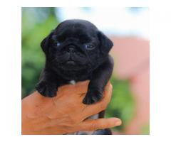 Top quality  pug puppies male and female available in Chennai contact no:9791152871