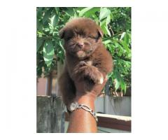Top quality  Lhasa Apso    puppies available in Chennai contact no:9791152871
