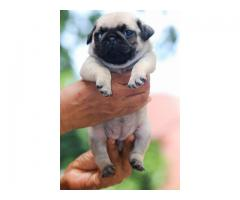 Top quality  pug puppies available in Chennai contact no:9791152871