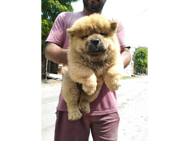 Top quality  Chow Chow  puppies PUREBREED male and female available in Chennai contact no:9791152871