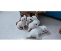 Top quality  Pomeranians  puppies PUREBREED  available in Chennai contact no:9791152871