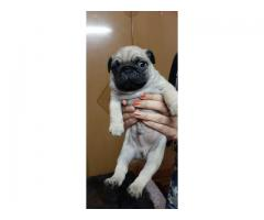 TOP SHOW QUALITY FULL VACCINED AND DEWORMED PUG PUPP ARE READY TO GO