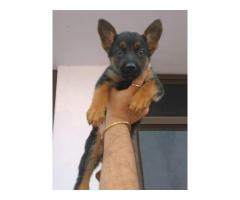 TOP SHOW QUALITY FULL VACCINED AND DEWORMED GERMAN SHEPHERD PUPP ARE READY TO GO