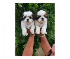 PET HOUSE FOR PURE BREED CUTE SHIHTZU PUPPY AVAILABLE 100% ORGINAL PETS IN DELHI NCR