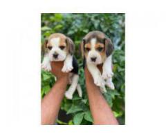 Low maintenance beagle pup available 8368241911