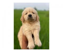 Awesome look golden retriever available call 8368241911