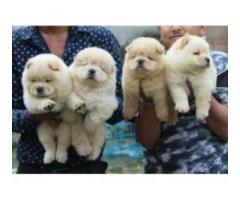 Chow Chow  cutest puppy available 8368241911 for buy