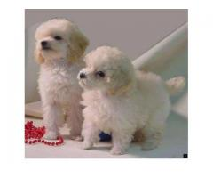 Dogs lover can buy poodle .... available on this number 8368241911