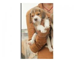The United Breed Beagle Dog and Puppies For Sale Delhi 9555944924