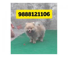Culture pom puppy buy and sell in jalandhar city pet shop 9888121106