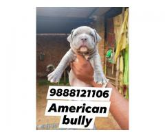 American bully puppy buy and sell online 9888121106 jalandhar city