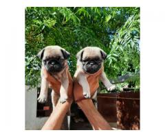 PUG PUPPIES AVAILABLE IN DELHI NCR. DEWORMED AND VACCINATED. CONTACT 8130629789