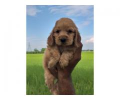 ENGLISH COCKER SPANIEL PUPPIES AVAILABLE IN DELHI NCR. DEWORMED AND VACCINATED. CONTACT 8130629789