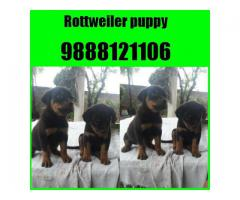 Chow chow puppy buy and sell in jalandhar phagwara chandigarh
