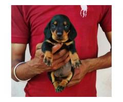 Dachshund puppies in Jalandhar and Chandigarh 9780741013