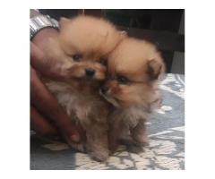 Toy Pom Puppies Jalandhar and Chandigarh