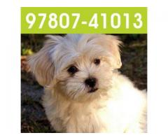 Lhasa Apso puppies in Jalandhar and Chandigarh