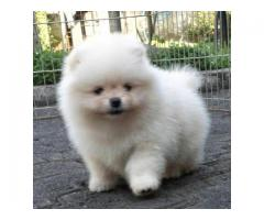 Top Quality Small Size Pomeranian Male Puppy For Sale