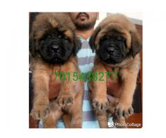Show quality English Mastiff pup available