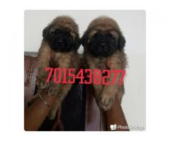 English Mastiff pup available