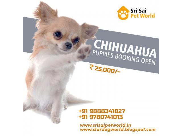 Chihuahua for sale in India | Worlds smallest Dog Chihuahua | Buy Chihuahua
