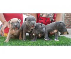 American Bully Pups Available Here Trust Kennel