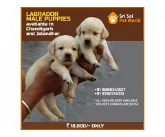 Get GOLDEN LABRADOR puppies in Jalandhar city 9888341827