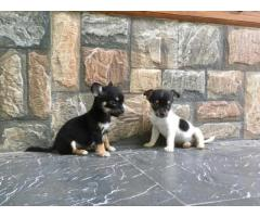 Chihuahua Pups For Sale Trust Kennel