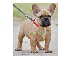 Show quality French Bulldog Pup Available
