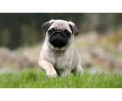 Available For Pug Pups