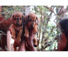 Top quality dashhound male and female puppy available contact:7904034541