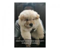 Top quality Chow Chow male puppy available location Chennai contact number:7904034541
