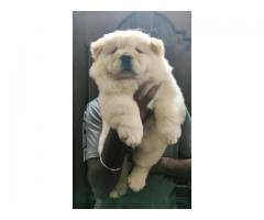 Chow Chow male and female available
