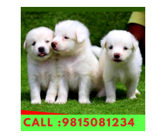 White Pomerian Puppies Available For sale in Jalandhar. CALL:9815081234