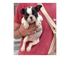9716575323 Always in Demand French bulldog puppies available