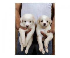 Ultimate and Best Quality puppies Chihuahua for sale in Delhi NCR 9555944924