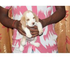 9716575323 Sale sale sale Beagle pups for sell