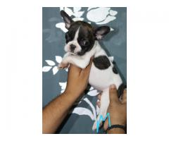 9716575323 French bulldog black n white color male puppy available