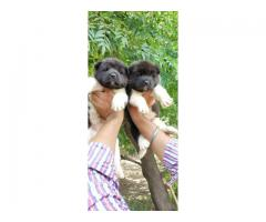 American Akita import lineage pups available in Ahmedabad only. For show homes