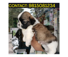 Adorable Shihtzu Puppies Available For sale in Chandhigarh. CALL: 9815081234