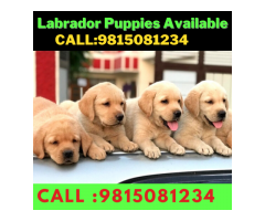 Labrador Puppies Available For sale in Chandhigarh . CALL:9815081234