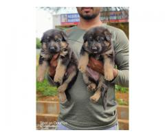 Best Quality Jack Russell Pups For Sale Trustdogsales 9899803008.