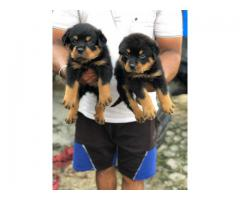 Beautiful Rottweiler Puppies (5weeks Old) available in Punjab 9888341827