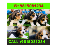 Show Quality Beagle Puppies Available For sale in Chandhigarh.