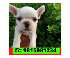 White French Bulldog puppy available for sale in Chandhigarh. CALL:9815081234