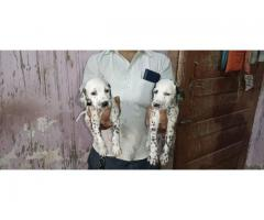 Dalmatian pups available for new friendly home