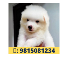 Pomerian Puppies Available For sale in Mohali.CALL :9815081234.