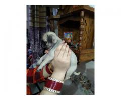 WRINKLED ABDORABLE & CUTE PUG MALE & FEMALE PUPPS 9205546224