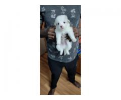 WRINKLED ABDORABLE & CUTE POMERANIANS MALE & FEMALE PUPPS 9205546224